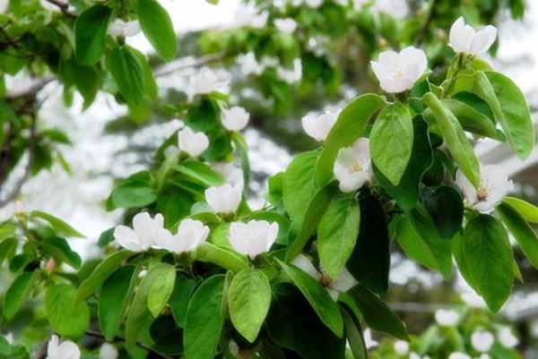 ayva-yaprağı-çayı