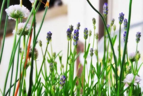 iğde-bitkisi-ve-faydaları