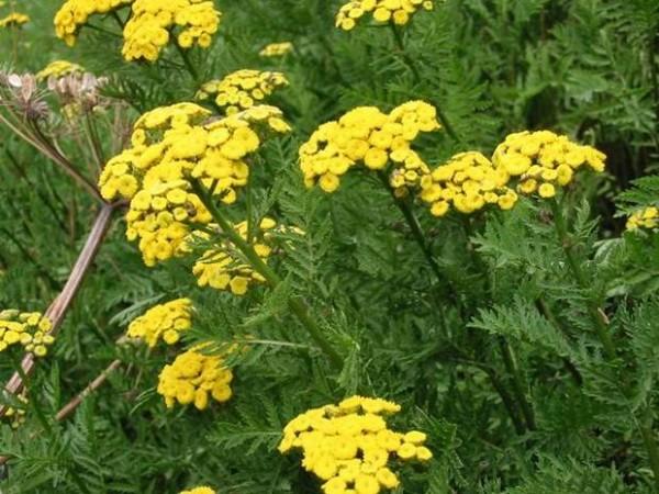 altın-otu-bitkisi