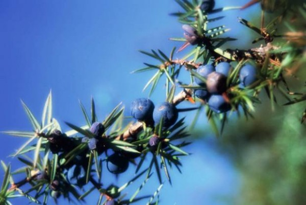 ardıç-tohumu-yağı