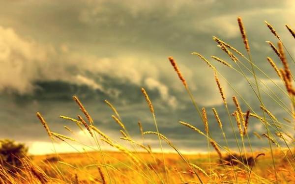buğday-yağı-faydaları
