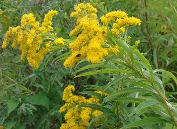 altınbaşak-otu-bitkisi