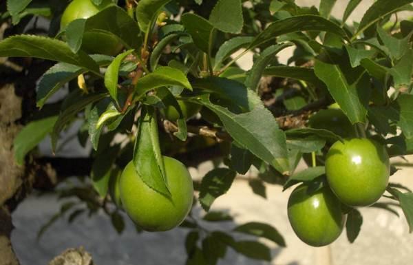 yeşil-erik-yiyerek-zayıfla (1)
