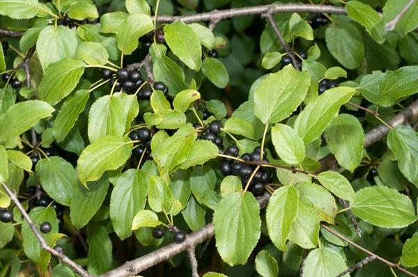 (Rhamnus cathartica)