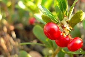 ayı-üzümünün-faydaları
