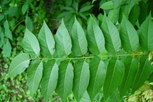 aylandız-ağacının-faydaları