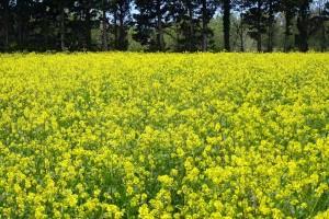 hardal-bitkisinin-faydaları