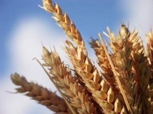 Buğday Yağı Neye İyi Gelir
